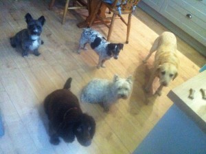 Home boarding Tenterden & Home boarding- Molly the Westie - Barking Mad About AnimalsBarking ...
