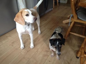 Home boarding Tenterden & Home boarding and dog walking- Fred the Beagle - Barking Mad About ...